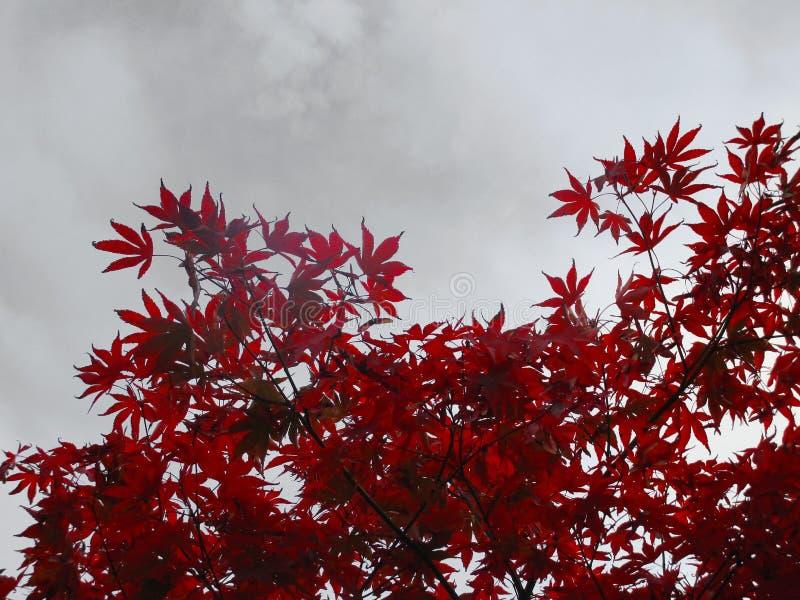 Κόκκινος ιαπωνικός σφένδαμνος στοκ φωτογραφίες