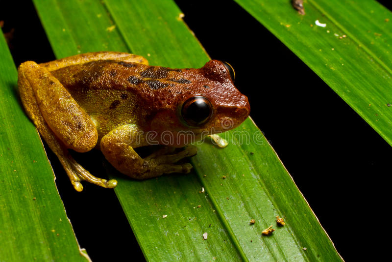 Κόκκινος διευθυνμένος βάτραχος υδρονέφωσης στοκ εικόνες
