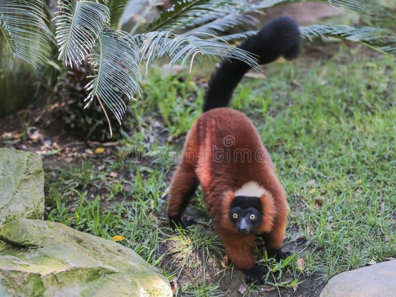 Κόκκινος-διογκωμένος κερκοπίθηκος (Eulemur rubriventer) στοκ εικόνα με δικαίωμα ελεύθερης χρήσης