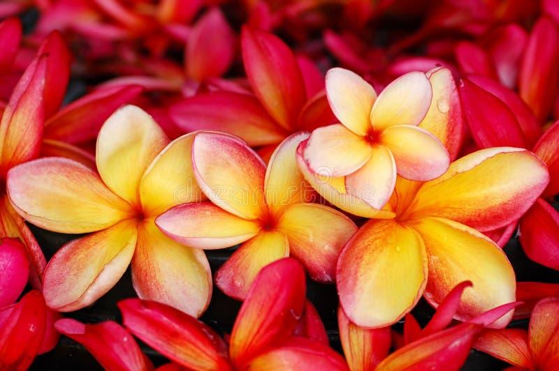 κόκκινος κίτρινος frangipani στοκ φωτογραφία
