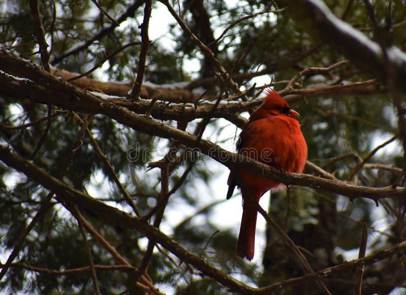 Κόκκινος καρδινάλιος το χειμώνα στοκ εικόνα