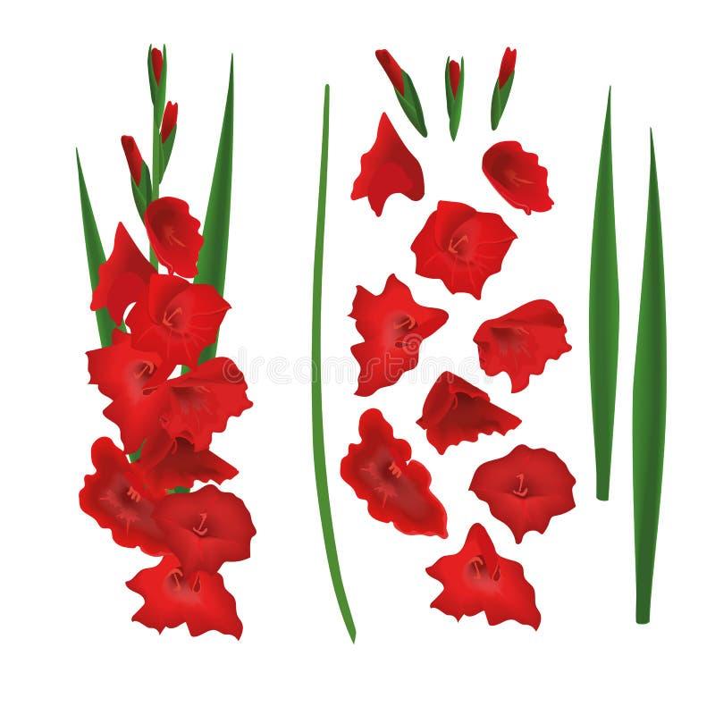 Κόκκινος κατασκευαστής Gladiolus, δημιουργός λουλουδιών κρίνων ξιφών Μίσχος, λουλούδια, οφθαλμοί, φύλλα επίσης corel σύρετε το δι απεικόνιση αποθεμάτων