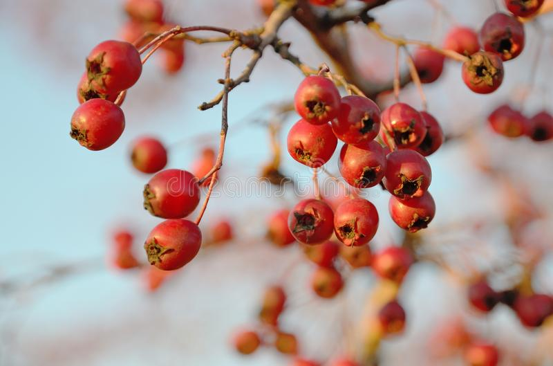 Κόκκινος κράταιγος μούρων το ηλιόλουστο φθινόπωρο υπαίθρια στοκ φωτογραφίες με δικαίωμα ελεύθερης χρήσης