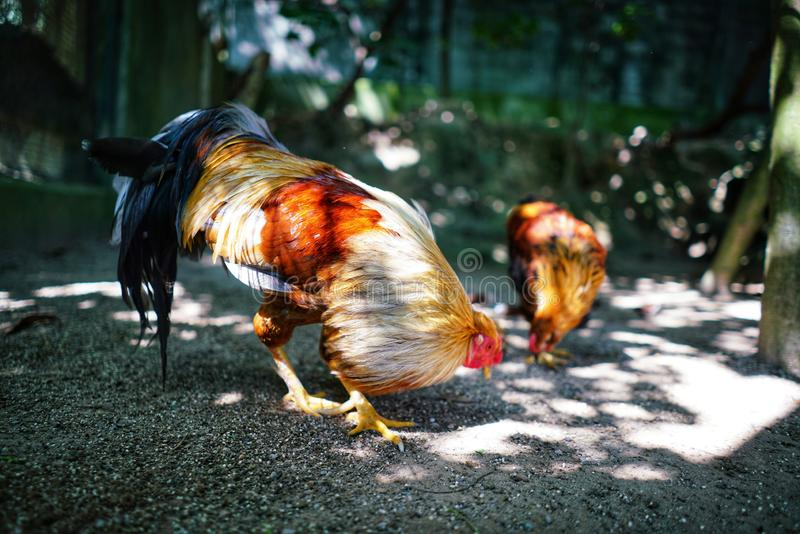 Κόκκινος κόκκορας στο ζωολογικό κήπο στοκ φωτογραφία με δικαίωμα ελεύθερης χρήσης