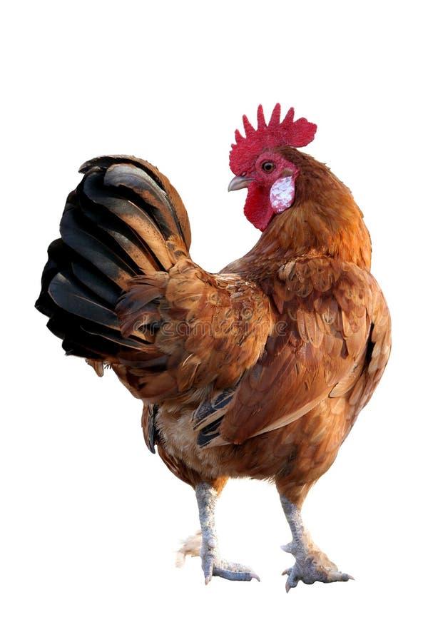 κόκκινος κόκκορας στοκ φωτογραφία με δικαίωμα ελεύθερης χρήσης