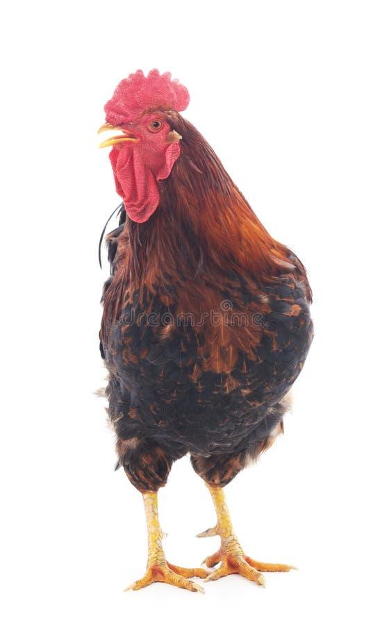 Κόκκινος κόκκορας Ont στοκ φωτογραφία με δικαίωμα ελεύθερης χρήσης