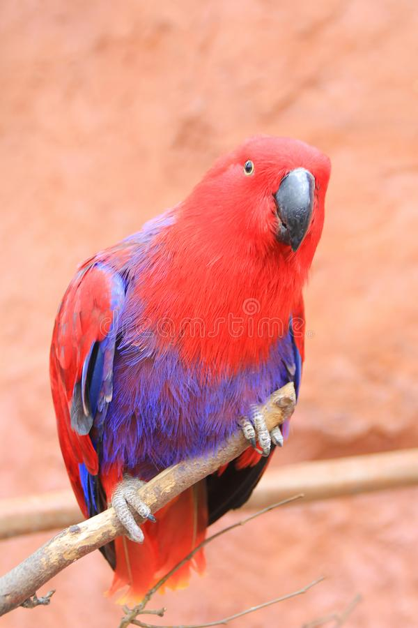 Κόκκινος μπλε παπαγάλος Eclectus στον κλάδο στοκ φωτογραφία