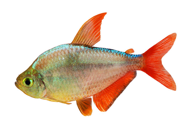 Κόκκινος-μπλε κολομβιανά τετρα ψάρια ενυδρείων columbianus Hyphessobrycon που απομονώνονται στοκ εικόνες