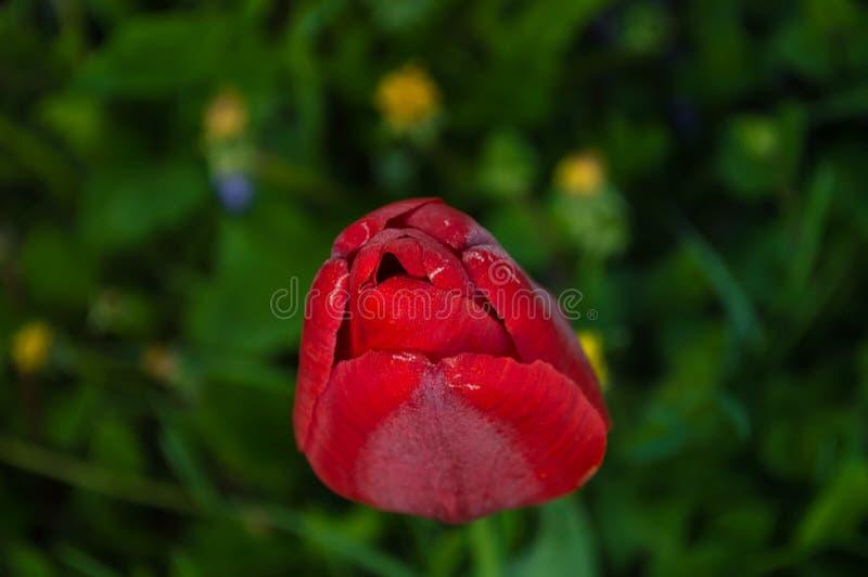 Κόκκινος οφθαλμός τουλιπών r στοκ εικόνα