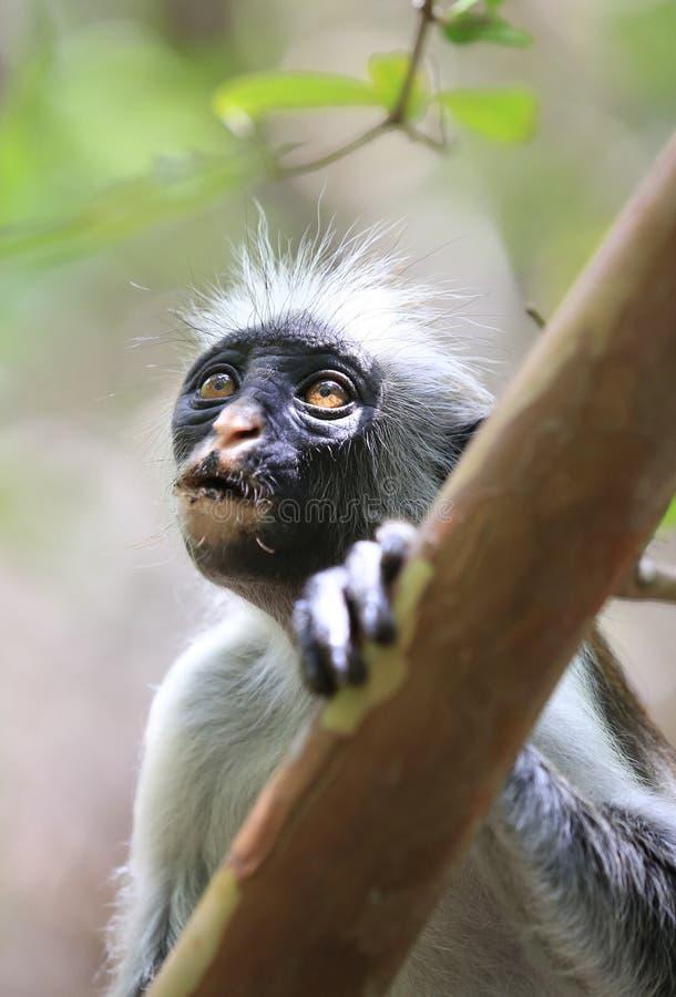 Κόκκινος πίθηκος colobus πορτρέτου στοκ εικόνα με δικαίωμα ελεύθερης χρήσης