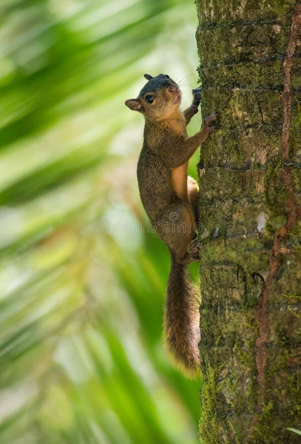 Κόκκινος-παρακολουθημένος σκίουρος στοκ φωτογραφία