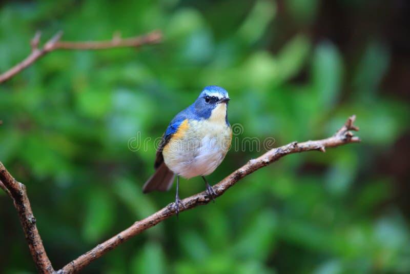 Κόκκινος-πλαισιωμένος bluetail ή πορτοκαλής-πλαισιωμένος θάμνος Robin στοκ φωτογραφία με δικαίωμα ελεύθερης χρήσης
