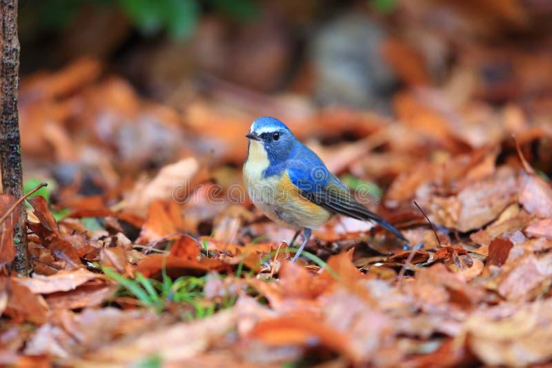 Κόκκινος-πλαισιωμένος bluetail ή πορτοκαλής-πλαισιωμένος θάμνος Robin στοκ φωτογραφίες με δικαίωμα ελεύθερης χρήσης