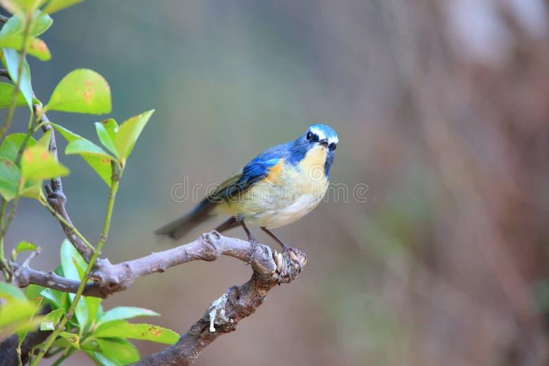 Κόκκινος-πλαισιωμένος bluetail ή πορτοκαλής-πλαισιωμένος θάμνος Robin στοκ εικόνες
