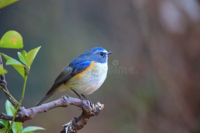 Κόκκινος-πλαισιωμένος bluetail ή πορτοκαλής-πλαισιωμένος θάμνος Robin στοκ εικόνες με δικαίωμα ελεύθερης χρήσης
