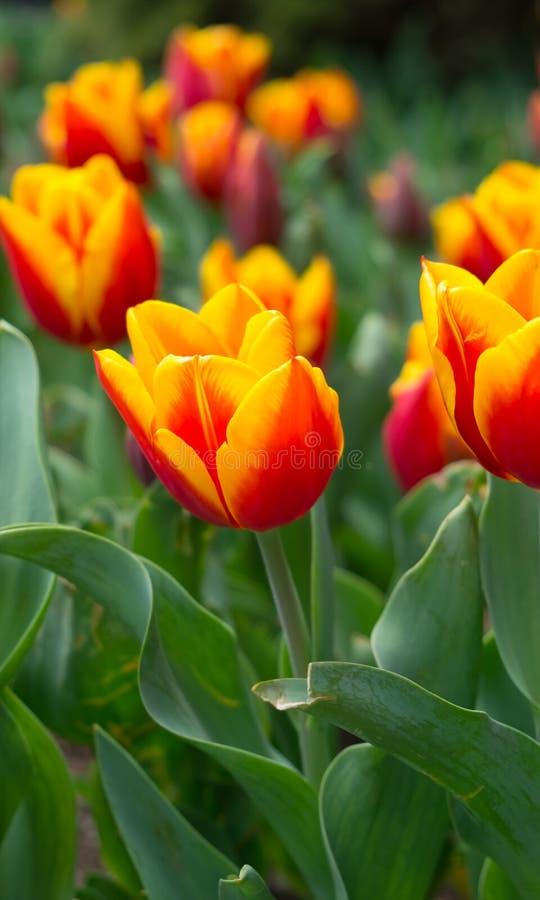 Κόκκινος-πορτοκαλιές τουλίπες στον κήπο στοκ φωτογραφίες με δικαίωμα ελεύθερης χρήσης