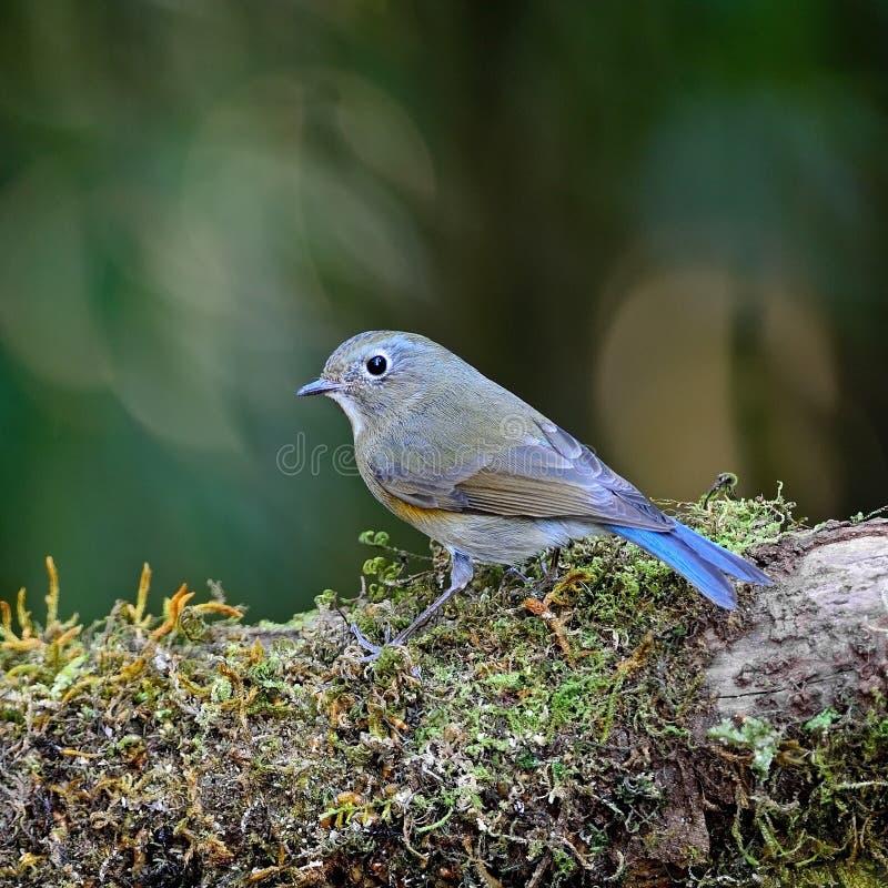 Κόκκινος-πλαισιωμένο θηλυκό Bluetail στοκ εικόνες