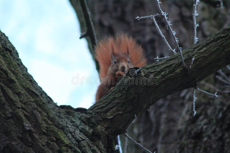 Κόκκινος σκίουρος κοντά στη νεράιδα Castle Γερμανία wolfsburg στοκ εικόνες
