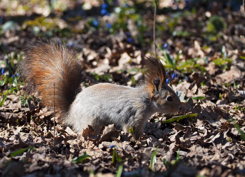 Κόκκινος σκίουρος που μένει στην άποψη πάρκων από τη δεξιά πλευρά στοκ εικόνα