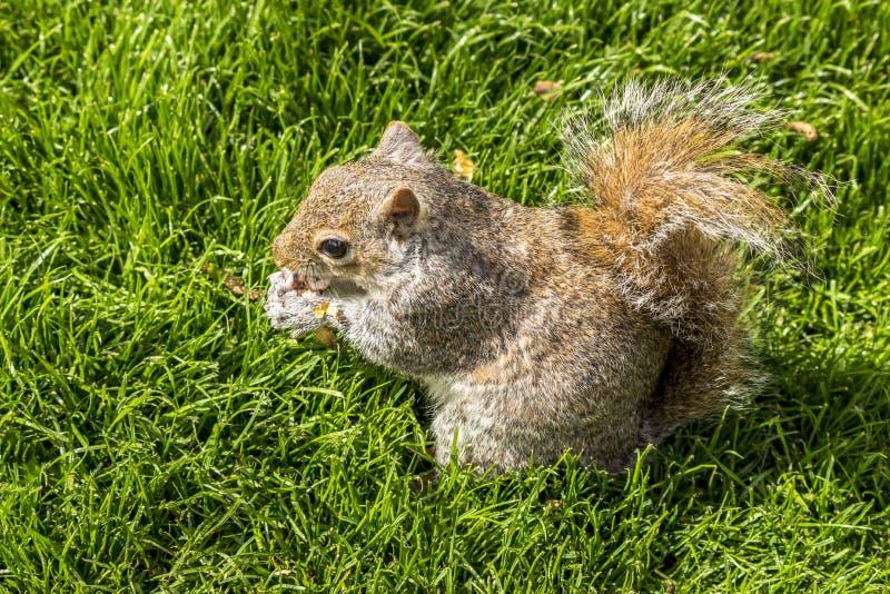 Κόκκινος σκίουρος που τρώει τα φυστίκια στο πάρκο του ST James `, Λονδίνο στοκ φωτογραφία με δικαίωμα ελεύθερης χρήσης