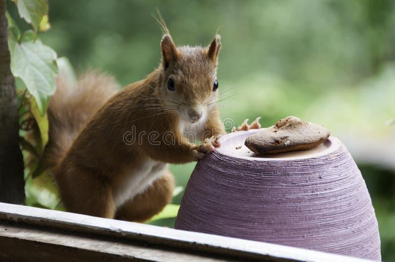 Κόκκινος σκίουρος που τρώει το κέικ στοκ εικόνες με δικαίωμα ελεύθερης χρήσης