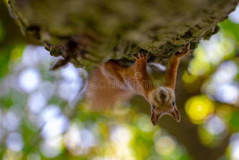 Κόκκινος σκίουρος σε ένα δέντρο, με ένα όμορφο bokeh στο υπόβαθρο Χαμηλό βάθος της οξύτητας στοκ εικόνες