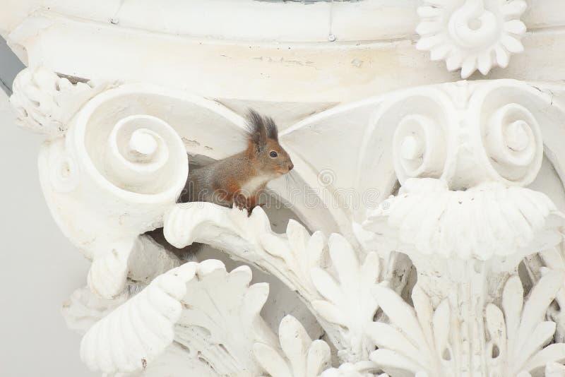 Κόκκινος σκίουρος σε μια άσπρη διακοσμητική στήλη με το στόκο στοκ εικόνα