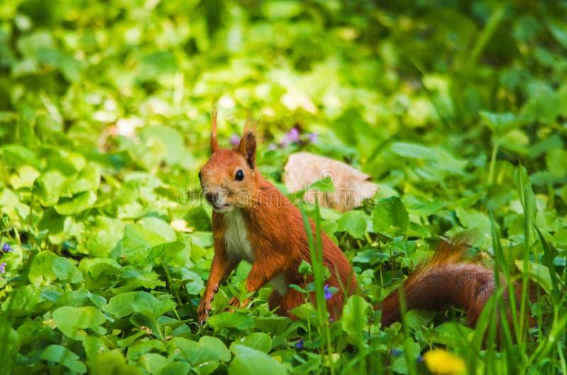 Κόκκινος σκίουρος στον ήλιο στην πράσινη χλόη στοκ φωτογραφίες