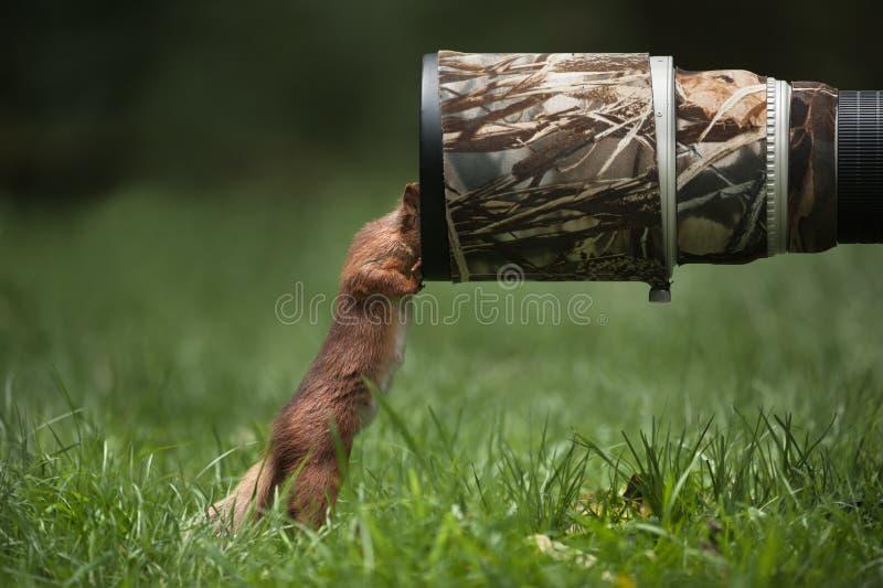 Κόκκινος σκίουρος. στοκ εικόνες
