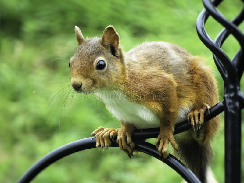 κόκκινος σκίουρος στοκ φωτογραφίες