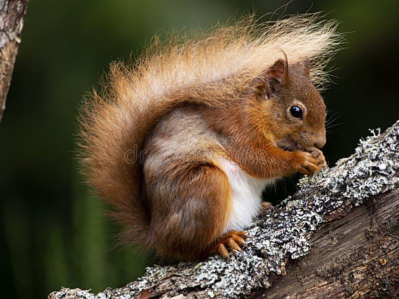 Κόκκινος σκίουρος Aigas στοκ εικόνες