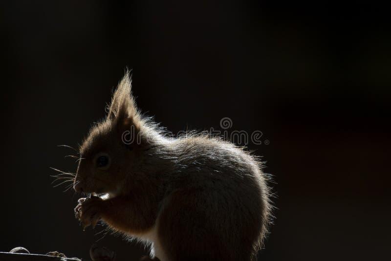 Κόκκινος σκίουρος, Sciurus Vulgaris, που κάθεται στο έδαφος κοντά στην ερείκη στα δάση των cairngorms εθνικών, Σκωτία στοκ εικόνες