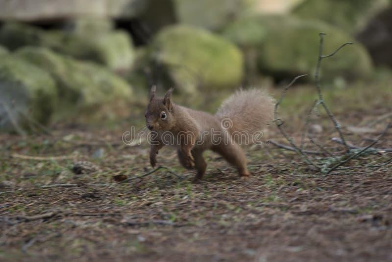 Κόκκινος σκίουρος, vulgaris, άγριο τρέξιμο Sciurus, κάθισμα, που πηδά, στα δέντρα πεύκων, έδαφος το χειμώνα, cairngorm εθνικό πάρ στοκ εικόνες