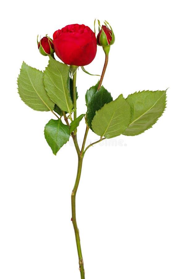 Κόκκινος στρογγυλός αυξήθηκε λουλούδι και οφθαλμοί στοκ φωτογραφία με δικαίωμα ελεύθερης χρήσης