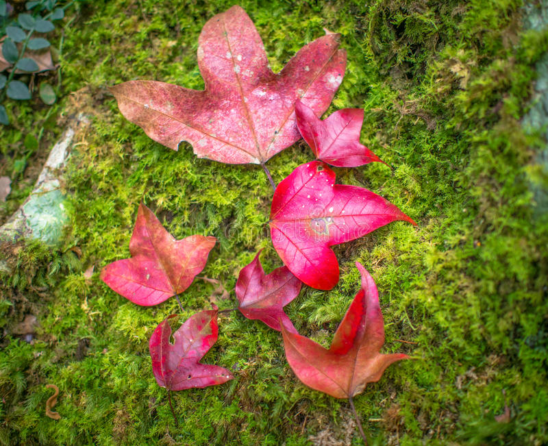 Κόκκινος σφένδαμνος στοκ φωτογραφία