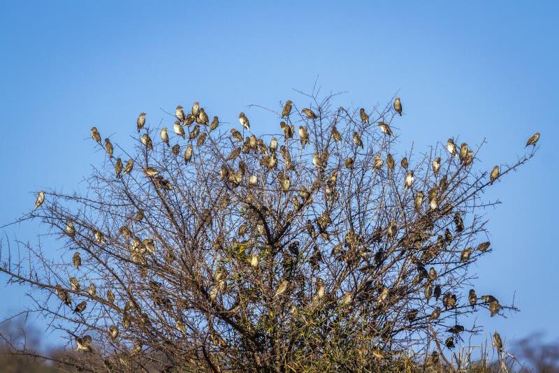 Κόκκινος-τιμολογημένο Quelea στο εθνικό πάρκο Kruger, Νότια Αφρική στοκ φωτογραφίες