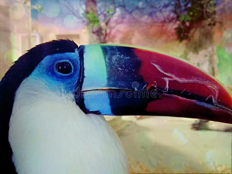 Κόκκινος-τιμολογημένο Toucan στοκ εικόνες