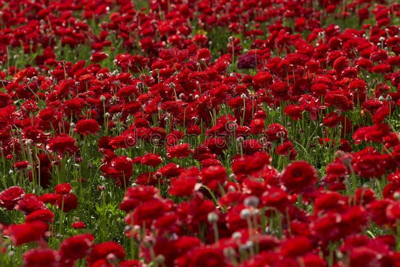 Κόκκινος τομέας βατραχίων στο Ισραήλ στοκ φωτογραφίες