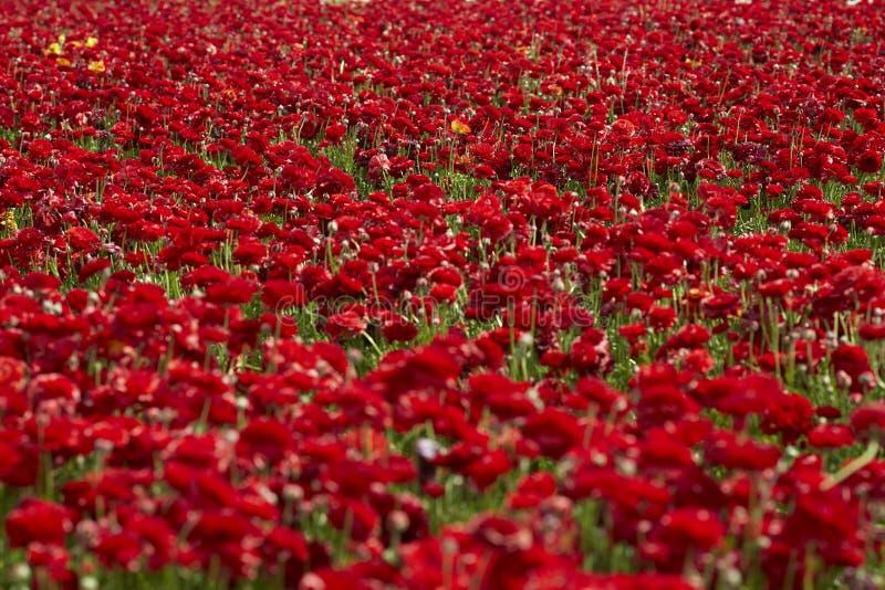 Κόκκινος τομέας βατραχίων στο Ισραήλ Περσικά ανθίζοντας λουλούδια νεραγκουλών στοκ φωτογραφίες