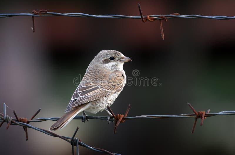 Download Κόκκινος-υποστηριγμένος Shrike Στοκ Εικόνα - εικόνα από άγριος, καλώδιο: 13178079