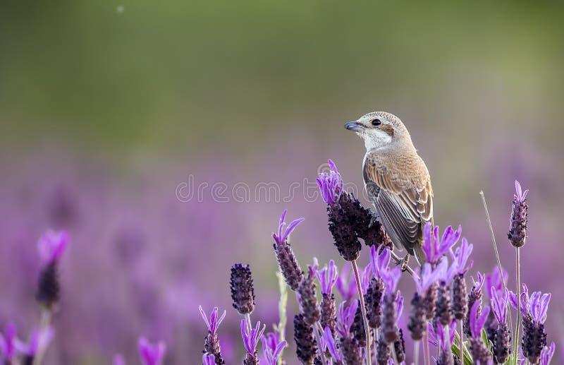 Κόκκινος-υποστηριγμένο θηλυκό Shrike ισπανικό Lavender στοκ εικόνες