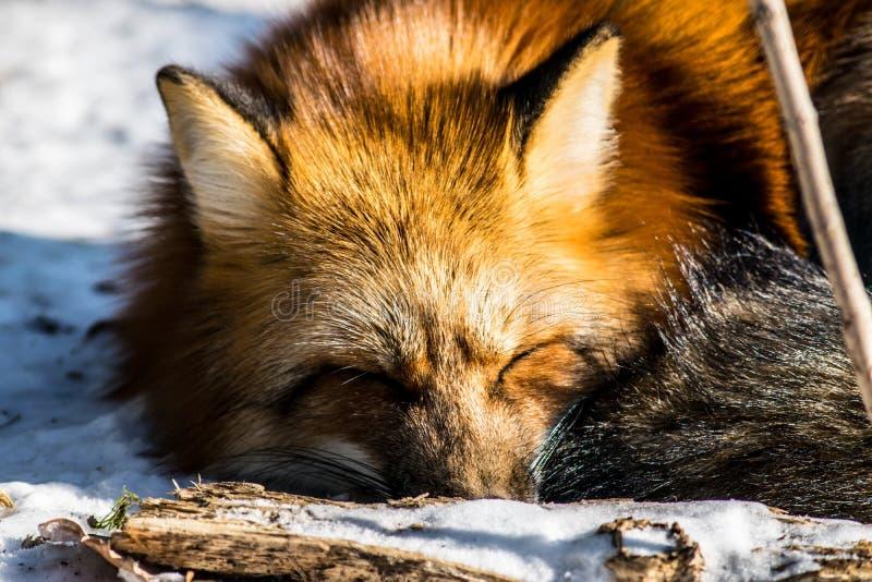 κόκκινος χειμώνας αλεπούδων στοκ φωτογραφία με δικαίωμα ελεύθερης χρήσης