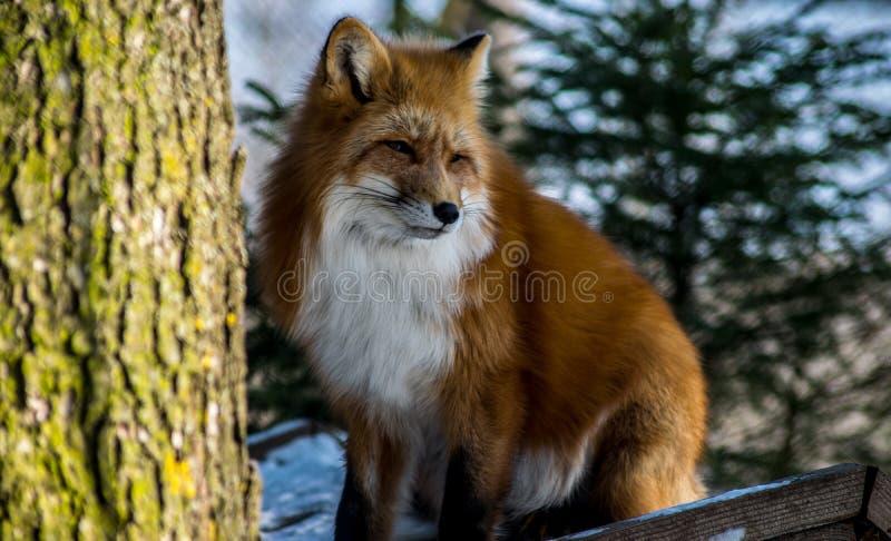 κόκκινος χειμώνας αλεπούδων στοκ φωτογραφία