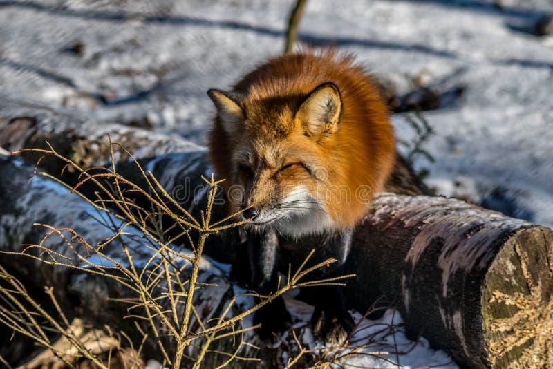 κόκκινος χειμώνας αλεπούδων στοκ εικόνες
