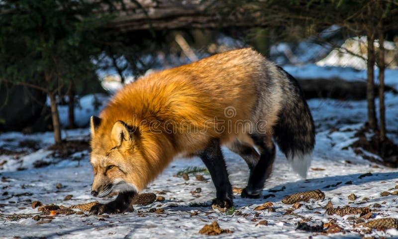 κόκκινος χειμώνας αλεπούδων στοκ εικόνα με δικαίωμα ελεύθερης χρήσης