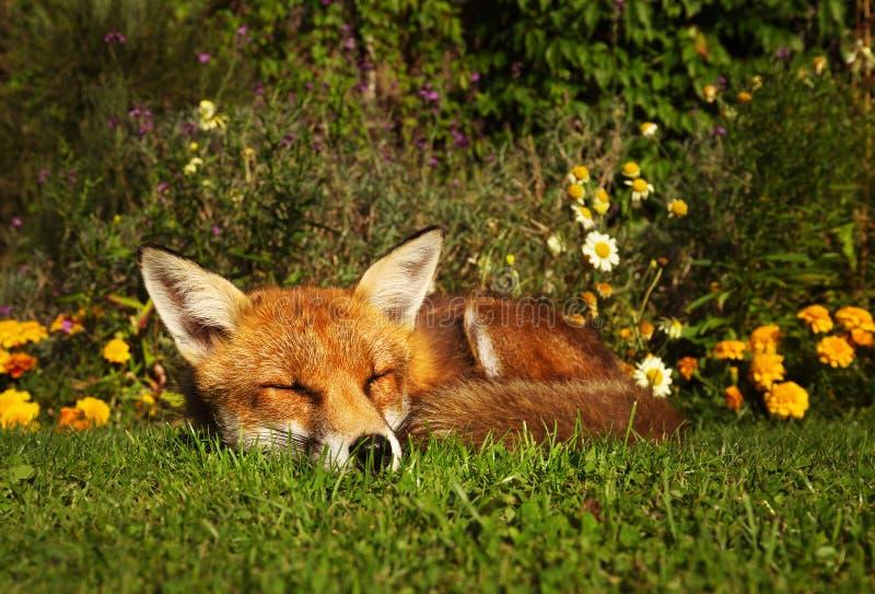 Κόκκινος ύπνος αλεπούδων στον κήπο με τα λουλούδια στοκ εικόνα με δικαίωμα ελεύθερης χρήσης