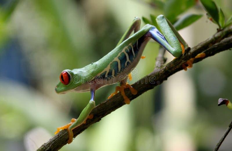 Κόκκινος-eyed βάτραχος δέντρων σε κίνηση στοκ φωτογραφίες με δικαίωμα ελεύθερης χρήσης