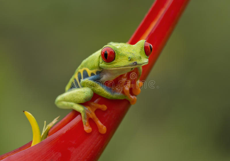 Κόκκινος-Eyed βάτραχος δέντρων στοκ εικόνα