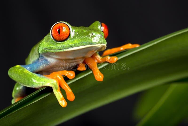 Κόκκινος Eyed βάτραχος δέντρων στοκ φωτογραφία με δικαίωμα ελεύθερης χρήσης