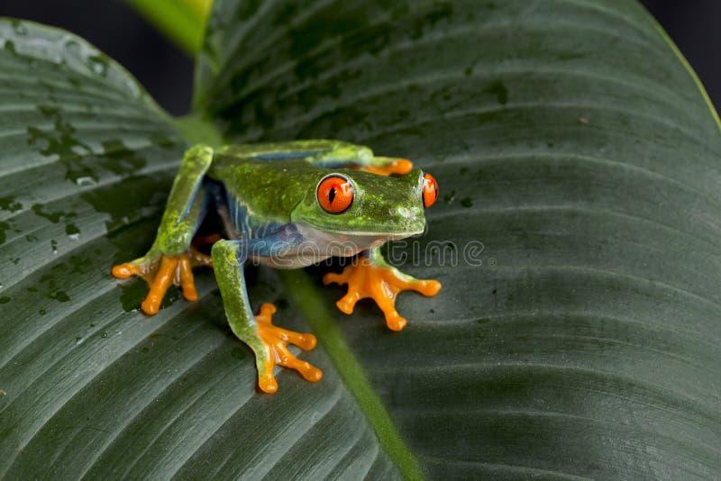 Κόκκινος Eyed βάτραχος δέντρων στοκ εικόνα με δικαίωμα ελεύθερης χρήσης